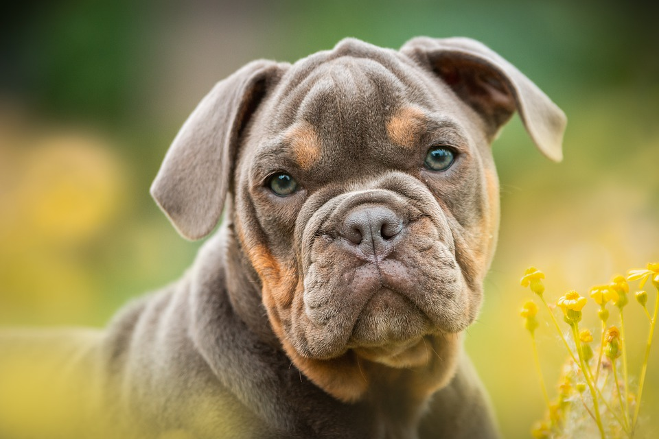 English-Bulldog-Breed