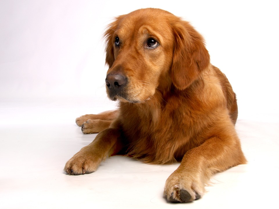 Golden-Retriever-Dog-Breed