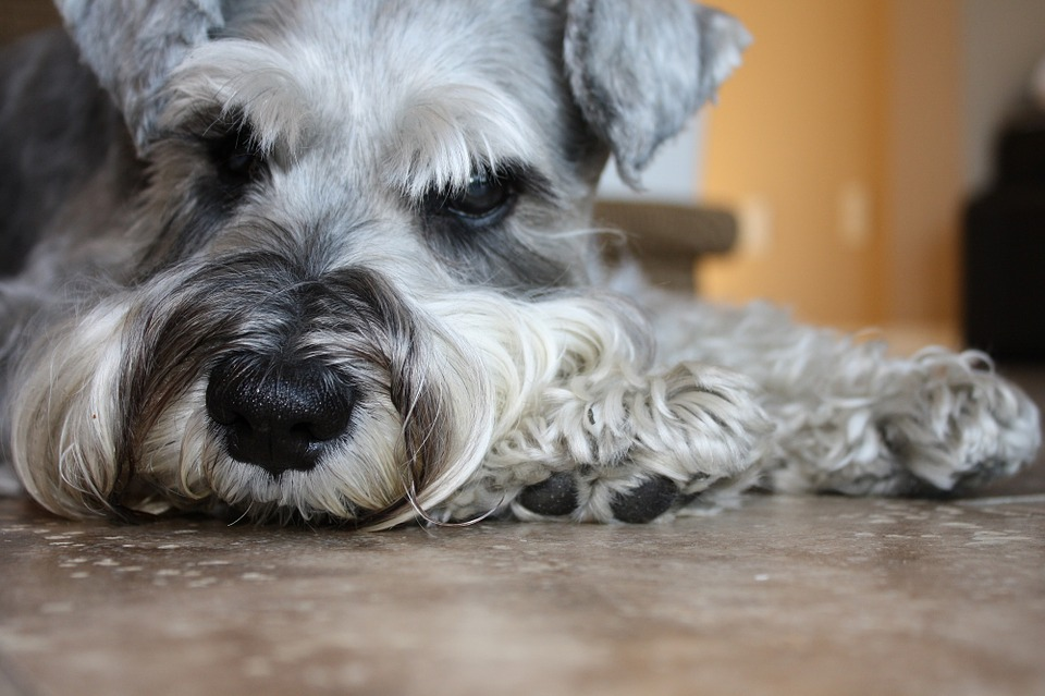 Schnauzer-Dog-Breed